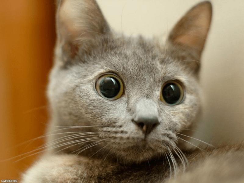 satowa目の丸い猫